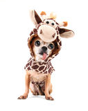 A cute chihuahua in a costume Stock Photography