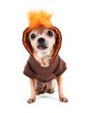 A cute chihuahua in a costume Stock Photo
