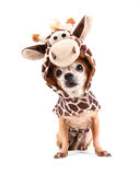 A cute chihuahua in a costume Stock Photos