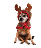 A cute chihuahua in a costume Royalty Free Stock Photo