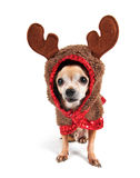 A cute chihuahua in a costume Royalty Free Stock Photos