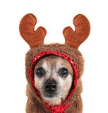 A cute chihuahua in a costume Royalty Free Stock Images
