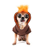 A cute chihuahua in a costume Stock Images