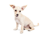 Cute Chihuahua Crossbreed Puppy With Perky Ears Stock Photos