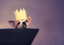 A cute chihuahua with a crown on Royalty Free Stock Photography
