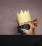 A cute  chihuahua with a crown and mask on Stock Photos