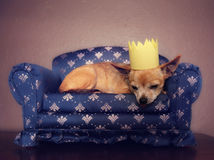 A cute chihuahua with a crown on napping on a couch Royalty Free Stock Photos