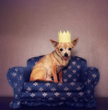 A cute chihuahua with a crown on sitting on a couch Royalty Free Stock Image