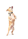 A cute chihuahua dancing for a treat Royalty Free Stock Image