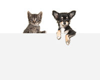 Free Cute Chihuahua Dog And Tabby Baby Cat Hanging Side By Side Over A Grey Paper Board Stock Photos - 83549263