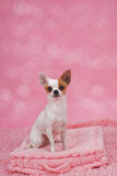 Cute chihuahua dog in basket Royalty Free Stock Images