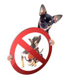 Cute Chihuahua dog be aware of ticks Stock Photo