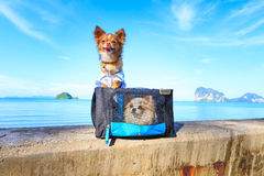 Cute chihuahua dog on the beach Royalty Free Stock Image