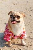 Cute Chihuahua dog Royalty Free Stock Photography