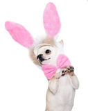 Cute chihuahua dog Stock Photography