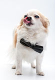 Cute Chihuahua dog  with black bow tie Royalty Free Stock Photography