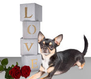 Cute chihuahua dog with block love letters.  Royalty Free Stock Images