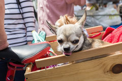 Cute chihuahua dog in a box Royalty Free Stock Photography