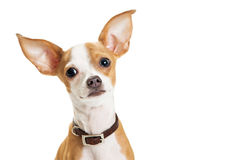 Cute Chihuahua Dog Closeup Loving Expression Royalty Free Stock Images