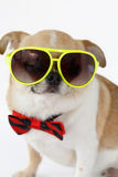 Cute Chihuahua dog. Closeup Chihuahua dog wearing eyeglasses with bow tie on isolated, white background Royalty Free Stock Images