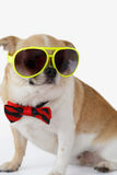 Cute Chihuahua dog. Closeup Chihuahua dog wearing eyeglasses with bow tie on isolated, white background Stock Photography