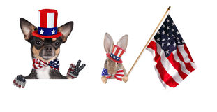 Cute chihuahua dog and cute bunny  celebrating independence day 4th of july with peace fingers and with america flag Royalty Free Stock Photography