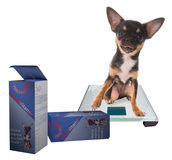 Cute Chihuahua dog on digital modern scale with vitamin Royalty Free Stock Image