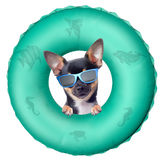 Cute chihuahua dog enjoy the summer with swim ring. Isolated Stock Image