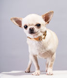 Cute chihuahua Stock Images
