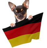 Cute Chihuahua dog have Germany soccer flag between the legs Royalty Free Stock Images