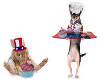Cute chihuahua dog have make cupcakes for 4th of july day party Royalty Free Stock Image