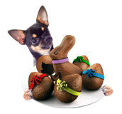 Cute Chihuahua dog have tasty dish between the legs with chocolate with Easter eggs Royalty Free Stock Images