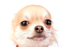 Cute chihuahua dog head close-up. On white background Royalty Free Stock Image