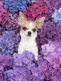 Cute chihuahua dog between hydrangea flowers Stock Photography