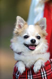 Cute chihuahua dog inside bag for pet Royalty Free Stock Photography