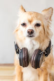 Cute chihuahua dog listening to music. In large leather dark wireless headphone on wooden floor Royalty Free Stock Photos