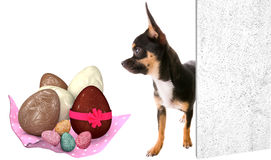 Cute chihuahua dog looking at the Easter eggs Stock Photos