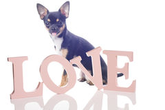 Cute Chihuahua dog with love leteers for valentine card. Cute dog chihuahua with love leteers for valentine card Royalty Free Stock Photos