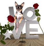 Cute chihuahua dog with Love letters white background. Isolated Royalty Free Stock Image