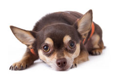 Cute chihuahua dog Royalty Free Stock Images