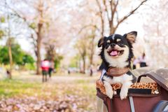 Cute chihuahua dog. Cute chihuahua dog and pink flower in the public park Royalty Free Stock Images