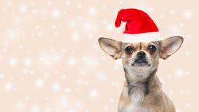 Cute chihuahua dog portrait wearing santa`s hat Royalty Free Stock Image