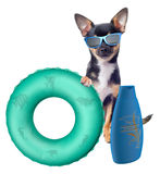Cute chihuahua dog protect at sun Royalty Free Stock Photography
