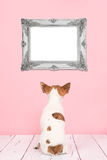 Cute chihuahua dog seen at the back looking at an empty baroque picture frame. Cute chihuahua dog seen at the back sitting on a pink background staring at a Stock Images