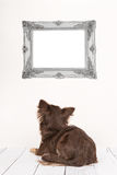 Cute chihuahua dog seen at the back staring at an empty picture frame. Cute chihuahua dog seen at the back lying down in a living room setting staring at an Royalty Free Stock Image