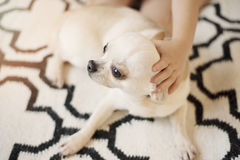 Cute Chihuahua dog sits on Scandinavian rug carpet on the floor and a hand of a little girl hug it. Indoors, sweet home Stock Photo