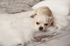 Cute chihuahua dog sits on white carpet in room Royalty Free Stock Image