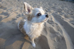 Cute Chihuahua dog  sitting on beach sand Stock Photography
