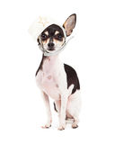 Cute Chihuahua Dog Sitting With Sailor's Hat Royalty Free Stock Photo