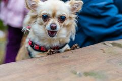 Cute chihuahua dog sitting at the table in forest and eating som. E food. Green nature in blurred background Royalty Free Stock Image